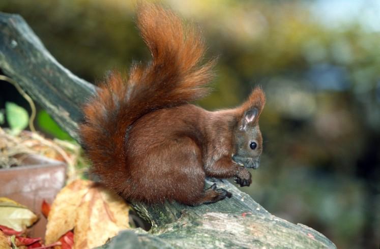 Steckbrief Eichhörnchen Arbeitsblatt : Eichhörnchen junior ranger