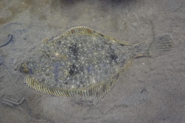 plattfische in der nordsee